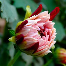Bud  by Asif Bora - Flowers Flower Buds (  )