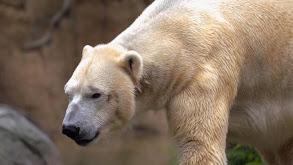 Polar Bear Opposites thumbnail