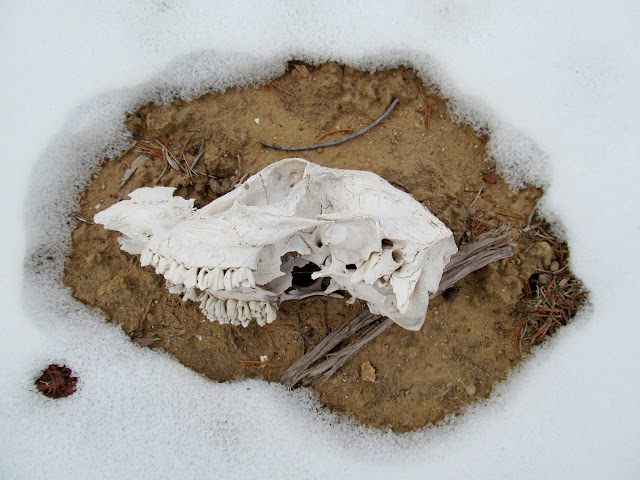 Animal skull in the snow