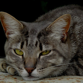 Prinses Poppie by Marissa Enslin - Animals - Cats Portraits (  )