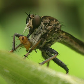 My Breakfast by Ardika Septyawan - Animals Insects & Spiders ( robberfly )