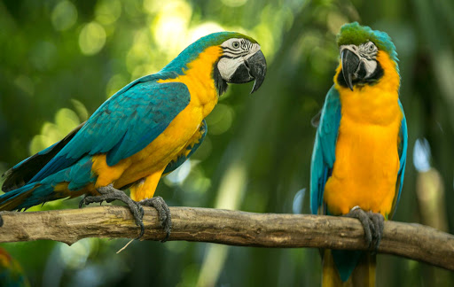 blue-and-yellow-macaws-in-cartagena.jpg -  Colorful macaws in the cruise terminal in Cartagena, Colombia.