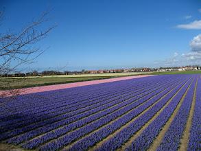 Photo: #008-Les champs de jacinthes dans les environs de Lisse.