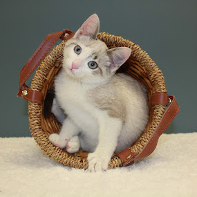 Soft Blue Eyes by Sharon Scholtes - Animals - Cats Portraits ( cat, kitten, siamese mix, white, blue eyes, feline )