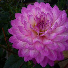 Pink Flower by Peggy LaFlesh - Flowers Single Flower ( pink, flower )