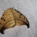 Arched tooltip moth