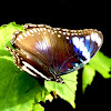 Great Eggfly ♀