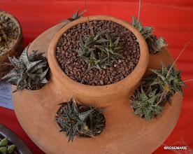 Photo: Aloe multi-pot