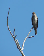 Photo: Western Wood Pewee, of which we saw a fair number