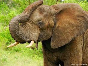 Photo: AFRIQUE DU SUD-Eléphant dans la réserve de Hluhluwe Imfolozi Park dans le Zoulouland.