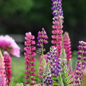 by Liz Huddleston - Flowers Flower Gardens ( purple, green, pink, flowers, garden, spring,  )