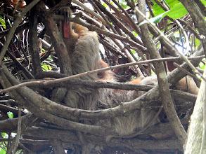 Photo: 3 toed sloth