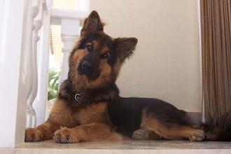 Photo: Diesel als volwassen hond