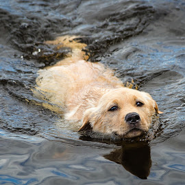 Yellow Lab by Dave Lipchen - Animals - Dogs Playing ( yellow lab )