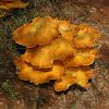 Jack 'O Lantern mushroom