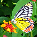 Common Jezebel