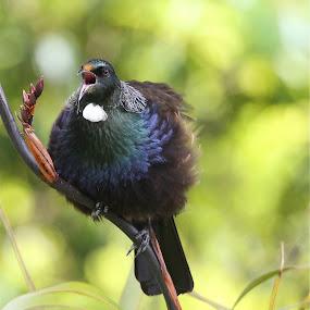 Tui Sings by John Dutton - Animals Birds ( tui )