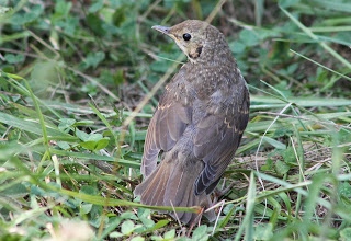 Photo: Turdus merula