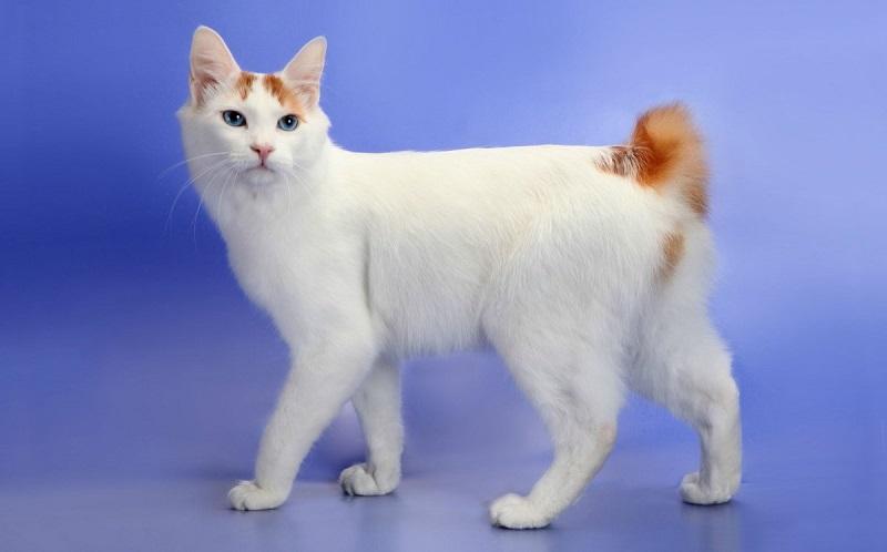 mua mèo cộc đuôi nhật bản ở đâu