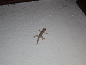 Photo: Gecko on the wall at our hotel