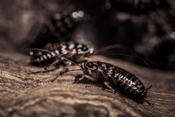 Jak rozpoznać karaluchy?