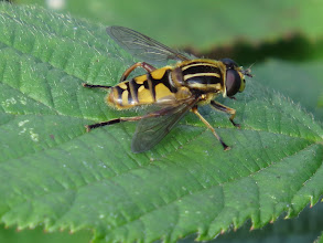 Photo: 12 Aug 13 Priorslee Lake: And another hoverfly: this is Helophilus pendulus. (Ed Wilson)