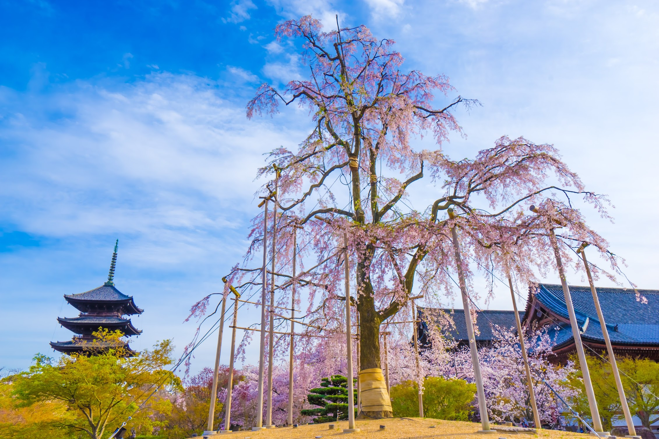 京都 東寺 桜2