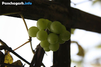 Photo: Angur (Grape fruit) garden in Panchagarh