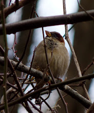 Photo: One of the ubiquitous House Sparrows...