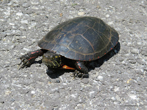 Photo: A painted turtle crossing the road at Sand Bar State Park by Aswini Cerukuri