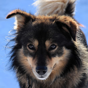 Calm Winter Eyes  by Nicol Sara - Animals - Dogs Portraits ( texture, sunny, ears, dog, eyes,  )