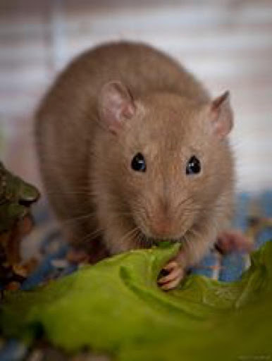 Pet Rats Wallpapers HD FREE