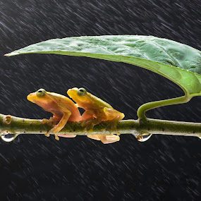 Shelter by Joyce Chang - Animals Amphibians ( macro, golden frogs, rain, droplets )