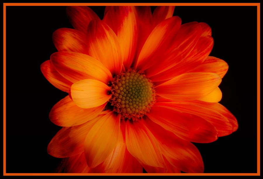 Fire Daisy by Digital Dawn - Nature Up Close Flowers - 2011-2013 ( fire daisy, daisy, nature photography, flower, floral )