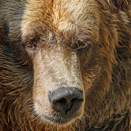 Come Cuddle Me by Sheen Deis - Animals Other Mammals ( wild, animals, nature, bears, cuddle, brown bear,  )