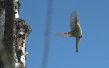 Photo: сорокопут-жулан. самка. запруда Лозянки.