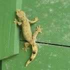 Southern Gecko