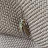 Galerucine Leaf Beetle