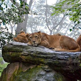 Hakunna Mattata by Piutie Kay - Animals Lions, Tigers & Big Cats