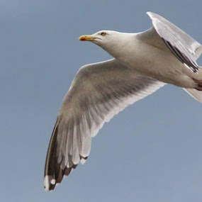 Gull by Deep Ocean - Animals Birds ( bird, flying, gull, skyline, yellow, birds, eye,  )
