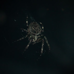 Light Loiterer by Michael Thorndike - Animals Insects & Spiders ( lofi, dark, 8 legs, spider, photography )