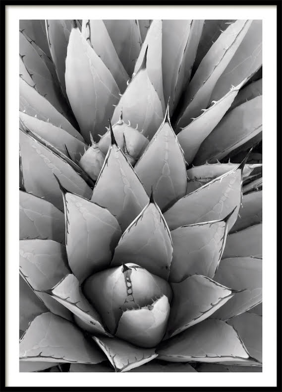 Agave Poster Bw