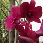 Orquídea Denphal Lilás