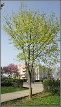 Photo: Arțar paltin de câmp (Acer platanoides) - De pe Calea Victoriei, aleie, Mr.2 - 2016.04.07 album http://ana-maria-catalina.blogspot.ro/2016/04/artari-paltin-de-camp-acer-platanoides.html