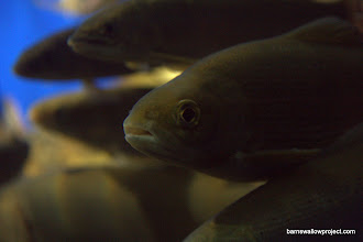 Photo: Georgy's Photo: Harius fish from Baikal at the museum