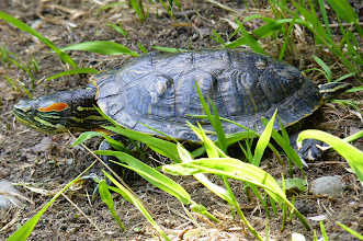 Photo: Red-eared Slider Turtle