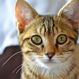 Kitten by Serge Ostrogradsky - Animals - Cats Kittens