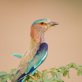 The bug knows where to HIDE!! by Angad Achappa - Animals Birds ( bird, avian, birds, indian roller, birding )