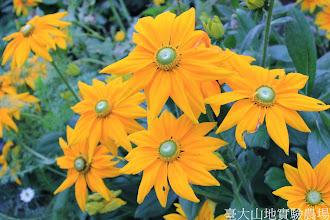 Photo: 拍攝地點: 梅峰-溫帶花卉區 拍攝植物: 金光菊 拍攝日期: 2014_09_27_FY