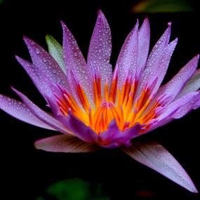 Teratai  by Zulfikar Achmad - Flowers Single Flower